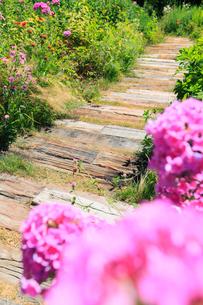 フロックスの花と小道の写真素材 [FYI02084646]