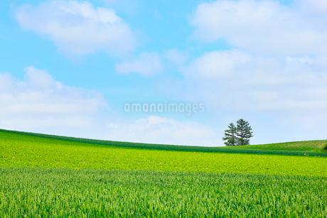 富良野(カラ松と麦畑・豆畑)の写真素材 [FYI02084663]