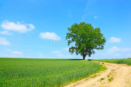 美瑛(哲学の木と小道)の写真素材 [FYI02084667]