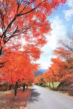 モミジ紅葉の並木道の写真素材 [FYI02084680]