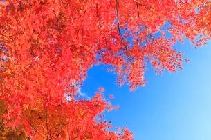 モミジ紅葉と青空の写真素材 [FYI02084685]