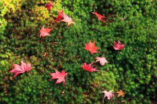苔と紅葉落葉の写真素材 [FYI02084702]