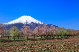 花の都公園よりチューリップと富士山の写真素材 [FYI02084787]