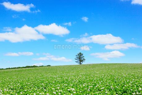 美瑛(丘のカラ松とジャガイモ畑)の写真素材 [FYI02084794]