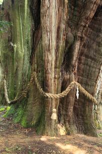 杉の大杉の写真素材 [FYI02084879]