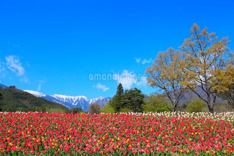 チューリップの花と北アルプス・蝶ヶ岳の写真素材 [FYI02084897]