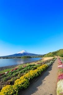 新緑の河口湖・大石公園よりユーフォルビアと富士山の写真素材 [FYI02084917]