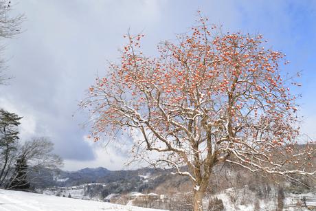 雪と残り柿の写真素材 [FYI02084918]