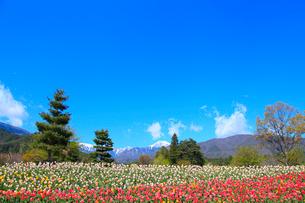 チューリップの花と北アルプス・常念岳の写真素材 [FYI02084936]