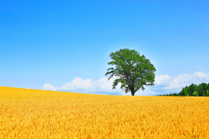 美瑛(哲学の木と麦畑)の写真素材 [FYI02084943]