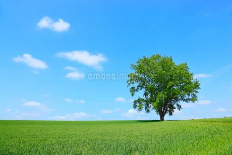 美瑛(哲学の木と青空)の写真素材 [FYI02084962]