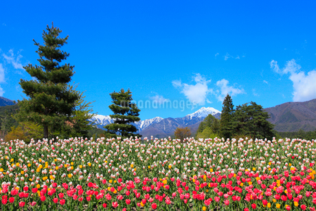 チューリップの花と北アルプス・常念岳の写真素材 [FYI02084993]