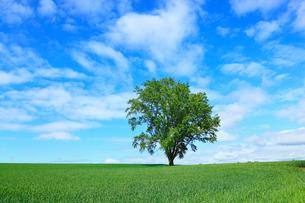 美瑛(哲学の木と麦畑)の写真素材 [FYI02085059]