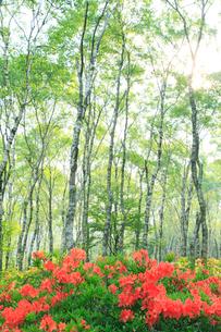 レンゲツツジと白樺林の写真素材 [FYI02085065]