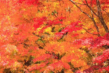 カエデの紅葉の写真素材 [FYI02085122]