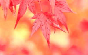 モミジ紅葉の写真素材 [FYI02085203]