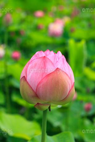 ハスの花の写真素材 [FYI02085353]