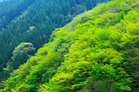 新緑の山肌の写真素材 [FYI02085421]