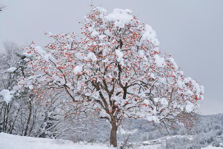 残り柿と雪景色の写真素材 [FYI02085507]