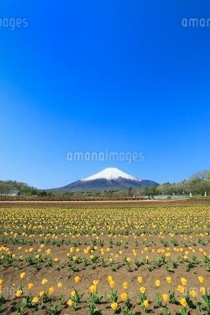 花の都公園よりチューリップと富士山の写真素材 [FYI02085541]