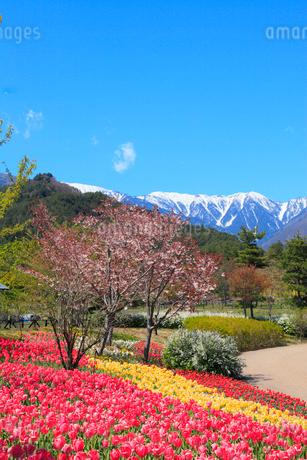 チューリップの花と北アルプス・蝶ヶ岳の写真素材 [FYI02085615]