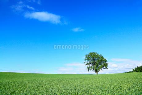 美瑛(哲学の木と麦畑)の写真素材 [FYI02085694]