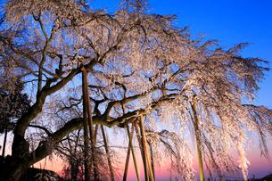 奥山田のシダレザクラ ライトアップ夕景の写真素材 [FYI02085803]