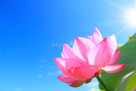 ハスの花と太陽光の写真素材 [FYI02085820]