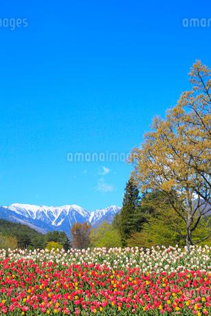 チューリップの花と北アルプス・蝶ヶ岳の写真素材 [FYI02085835]