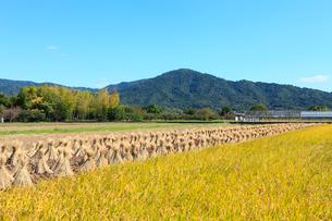 山の辺の道 三輪山と稲穂の秋の写真素材 [FYI02085861]