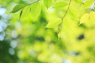 新緑の葉の写真素材 [FYI02085862]