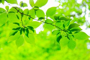 新緑の葉の写真素材 [FYI02086021]