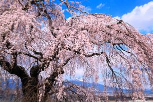 しだれ桜と残雪の浅間山の写真素材 [FYI02086199]
