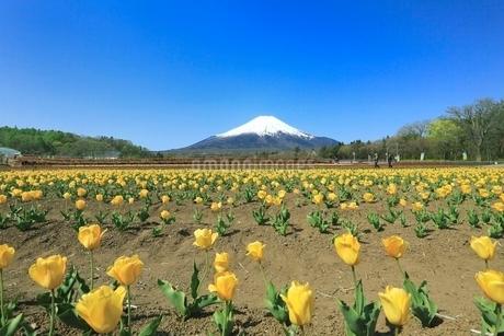 花の都公園よりチューリップと富士山の写真素材 [FYI02086228]