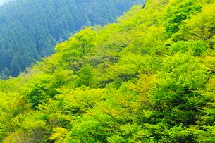 新緑の山肌の写真素材 [FYI02086328]