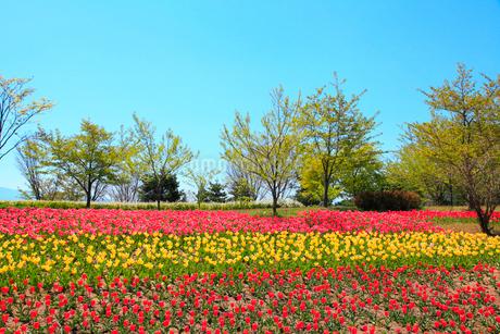 チューリップの花と緑樹の写真素材 [FYI02086446]