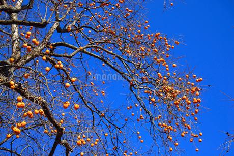 柿と青空の写真素材 [FYI02086463]