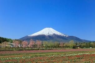 花の都公園よりチューリップと富士山の写真素材 [FYI02086473]