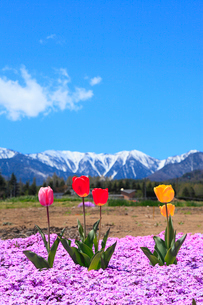 チューリップの花と北アルプス・蝶ヶ岳の写真素材 [FYI02086491]