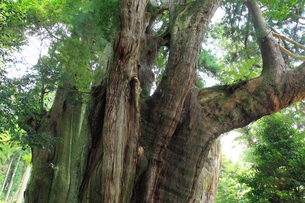 杉の大杉の写真素材 [FYI02086513]