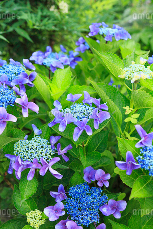 アジサイの花の写真素材 [FYI02086608]