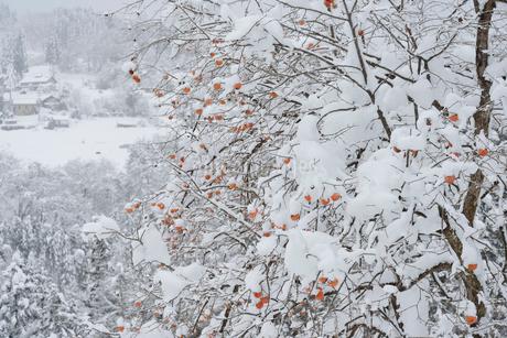 残り柿と雪景色の写真素材 [FYI02086618]