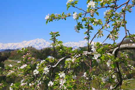 リンゴの花と北アルプス(鹿島槍ヶ岳・五竜岳)の写真素材 [FYI02086717]