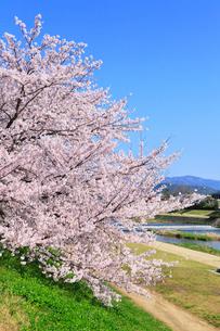 賀茂川とサクラの写真素材 [FYI02086736]