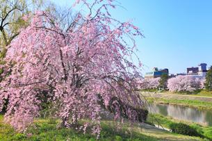 賀茂川堤のシダレザクラの写真素材 [FYI02086777]