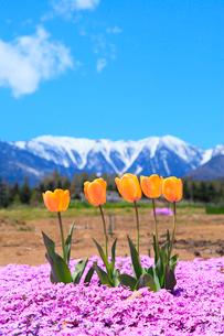 チューリップの花と北アルプス・蝶ヶ岳の写真素材 [FYI02086805]
