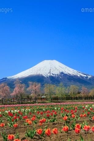 花の都公園よりチューリップと富士山の写真素材 [FYI02086842]