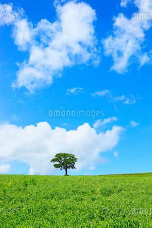 美瑛(丘の木と豆畑)の写真素材 [FYI02086847]