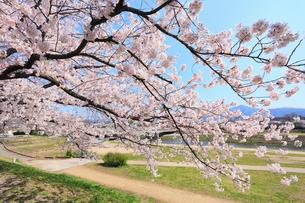 賀茂川堤のサクラの写真素材 [FYI02086850]
