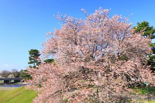 賀茂川堤のヤマザクラの写真素材 [FYI02086914]